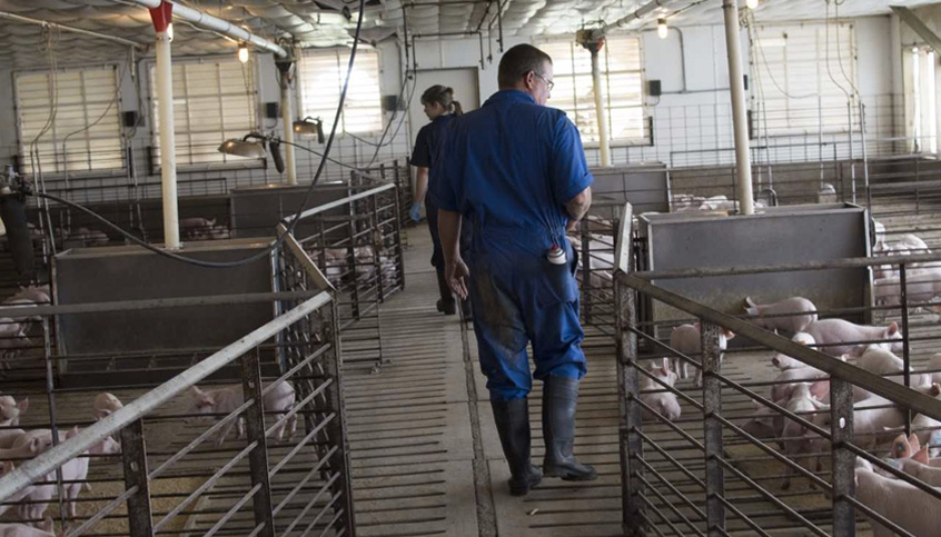 Farmers And Veterinarians Check The Animals Regularly To Make Sure They Are Healthy Happy Fans Help Keep Pigs Cool In Summer Water